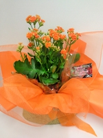 Kalanchoe Plant Gift Wrapped
